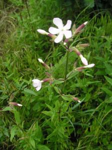 Mycí prostředky a mýdla - mydlice lékařská (saponaria officinalis)